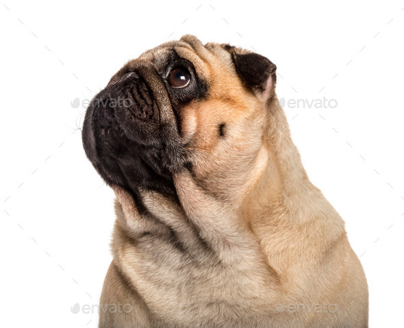 Close-up of a Pug in front of a white background - Stock Photo - Images