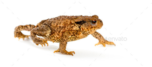 European toad, bufo bufo, in front of a white background - Stock Photo - Images