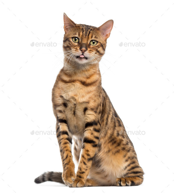 Bengal (11 months old) sitting and sticking its tongue out - Stock Photo - Images