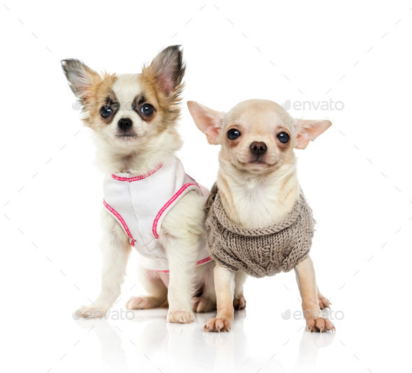 Chihuahua puppy (3 months old) - Stock Photo - Images