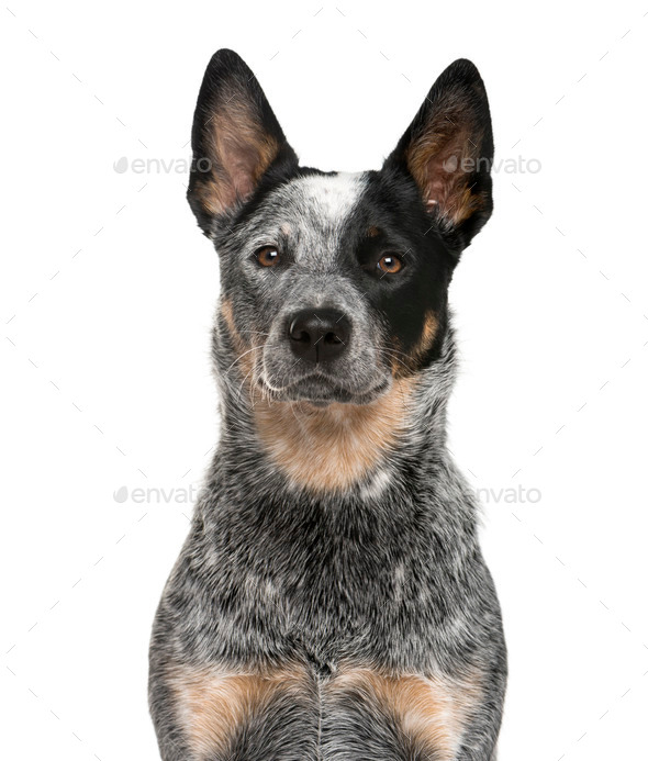 Close-up of an Australian Cattle Dog in front of a white background - Stock Photo - Images