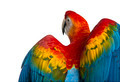 Rear view close-up of a Scarlet Macaw its wings deployed (4 years old) isolated on white