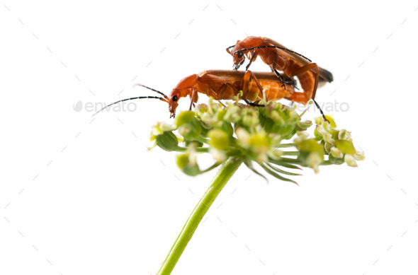 Common red soldier beetle, Rhagonycha fulva, mating on a flower in front of a white background - Stock Photo - Images