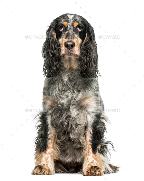 English Springer Spaniel (7 years old) - Stock Photo - Images
