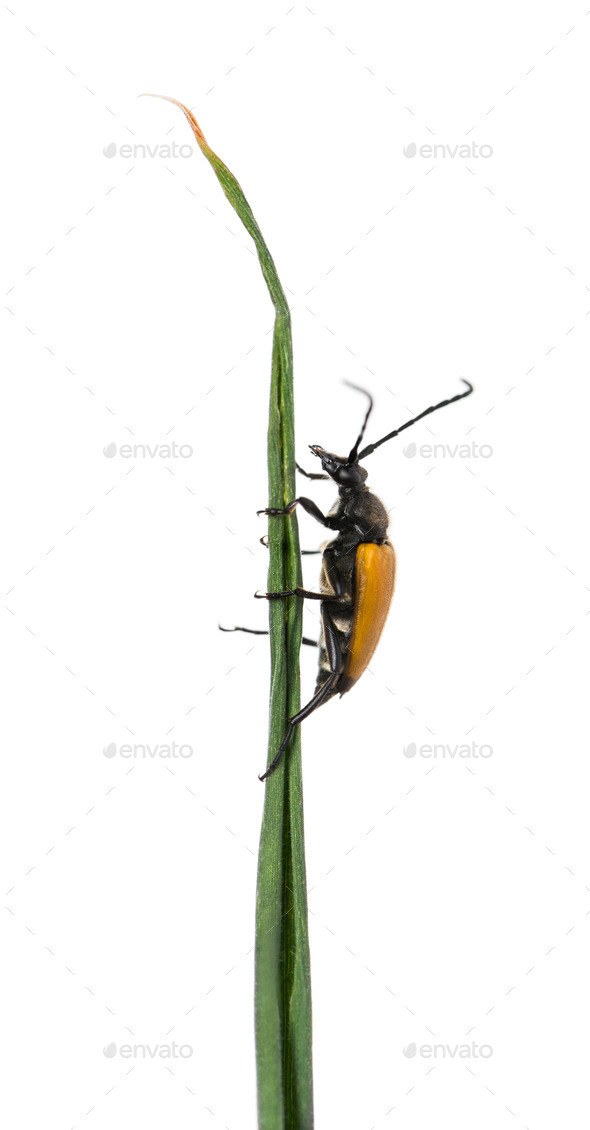 Soldier Beetle on a twig in front of a white background - Stock Photo - Images