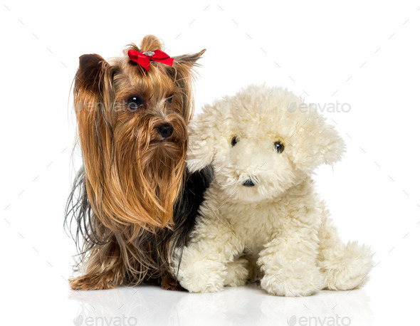 Yorkshire Terrier close to a teddy bear (2.5 years old) - Stock Photo - Images