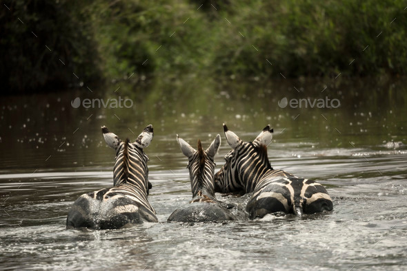 Zebras resting in a river, Serengeti, Tanzania, Africa - Stock Photo - Images