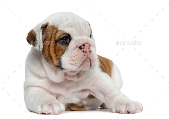 English bulldog puppy in front of white background - Stock Photo - Images