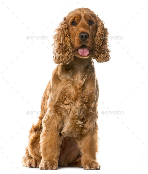 English Cocker Spaniel sitting in front of a white background - Stock Photo - Images