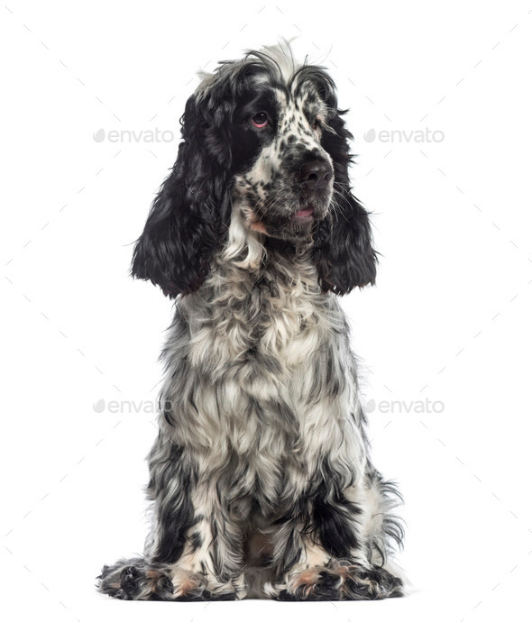 English Cocker Spaniel sitting (16 months old) - Stock Photo - Images