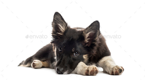 Border collie resting - Stock Photo - Images