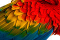 Close-up on a Scarlet Macaw feathers (4 years old) isolated on white
