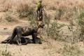 Dirty lioness standing next to its prey, Serengeti, Tanzania, Africa