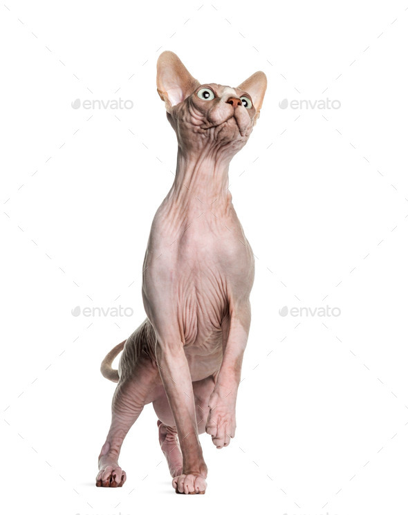 Sphynx (1 year old) - Stock Photo - Images