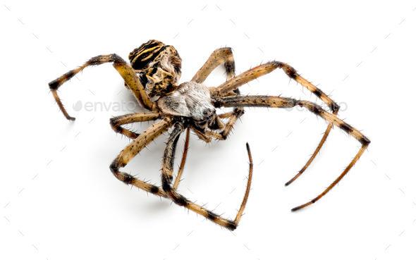 Dead Wasp spider, Argiope bruennichi, - Stock Photo - Images