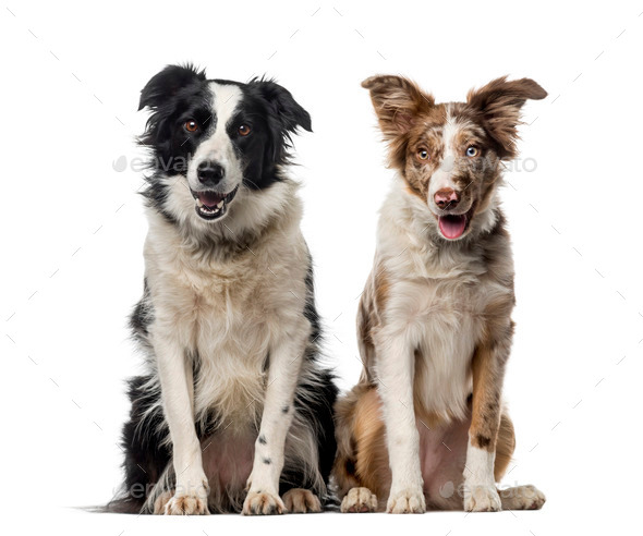 Two Border collies in front of a white background - Stock Photo - Images