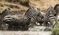 Zebras galloping in a river, Serengeti, Tanzania, Africa