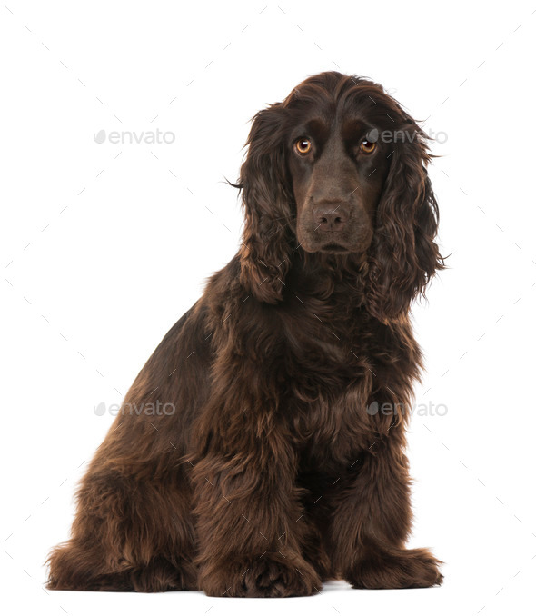 English Cocker Spaniel (8 months old) - Stock Photo - Images