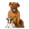 Young domestic goat and a Dogue de Bordeaux
