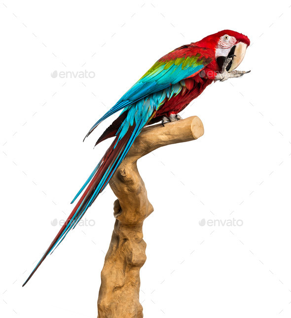 Red-and-green macaw perched on a branch and cleaning itself, isolated on white - Stock Photo - Images