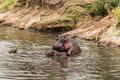 Hippos mating in river, Serengeti, Tanzania, Africa