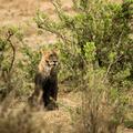 Dirty lioness sitting, Serengeti, Tanzania, Africa