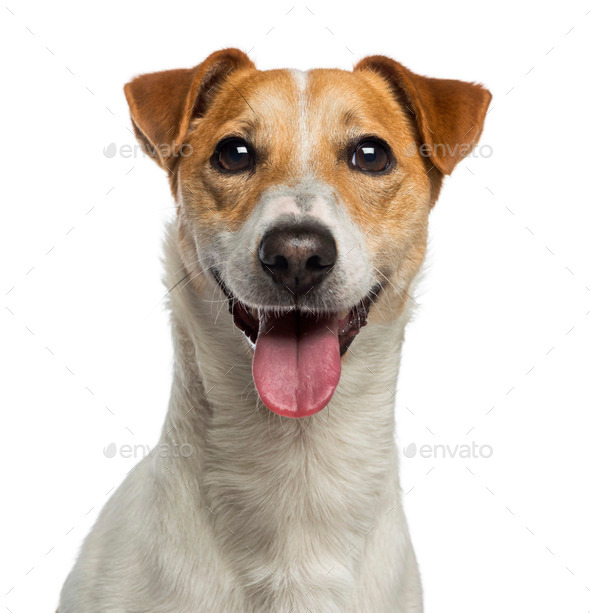 Headshot of a Jack Russell Terrier (18 months old) - Stock Photo - Images