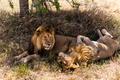 Two lions lying, Serengeti, Tanzania, Africa
