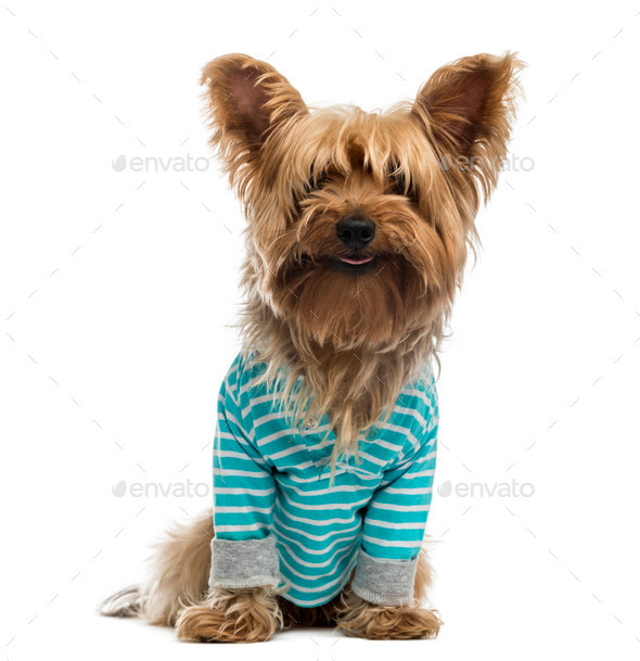 Yorkshire Terrier wearing a striped bleu shirt (2 years old) - Stock Photo - Images