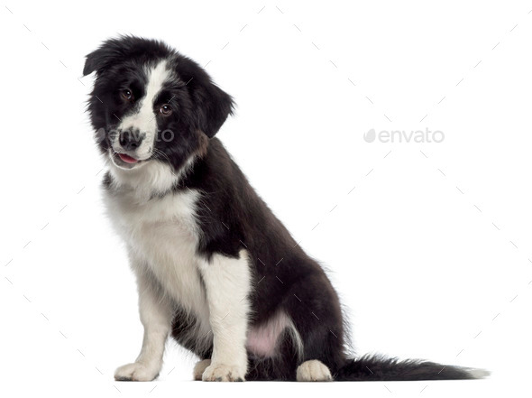 Border Collie puppy sitting (4 months old) - Stock Photo - Images