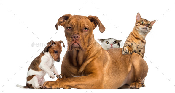 Cats and puppy playing and hiding behind a Dogue de Bordeaux - Stock Photo - Images