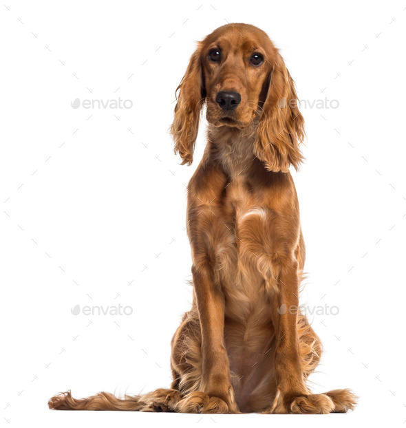 English Cocker Spaniel sitting (7 months old) - Stock Photo - Images