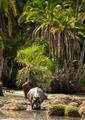 Hippo walking in river, Serengeti, Tanzania, Africa