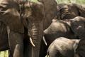 Close-up of a herd of elephants, Serengeti, Tanzania, Africa