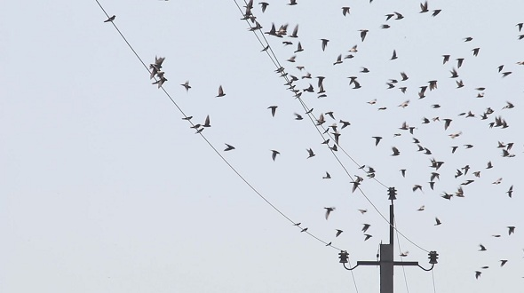 Swallows Fly and Sit on electric Wires 6