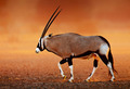 Gemsbok  on  desert plains at sunset - PhotoDune Item for Sale