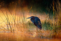 Goliath heron with sunrise over misty river - PhotoDune Item for Sale