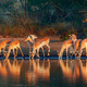 Impala herd with reflections in water - PhotoDune Item for Sale