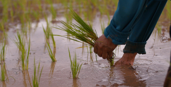Hands With Rice Planting