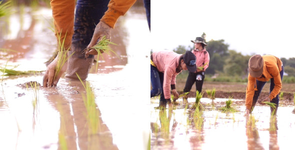 Farmers Plant Rice on Their Fields