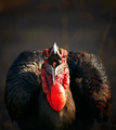 Southern Ground Hornbill swallowing a seed - PhotoDune Item for Sale