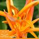 Orange Flower - VideoHive Item for Sale