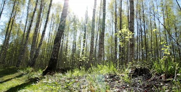 Sunny Birch Forest