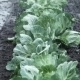 Field Irrigation Of Cabbage - VideoHive Item for Sale