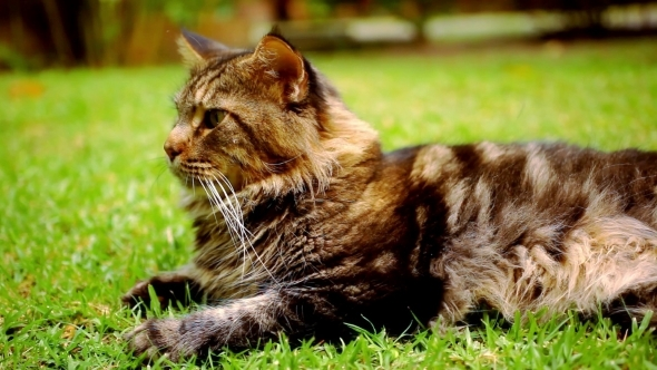 Maine Coon Black Tabby Cat With Green Eye Lying On