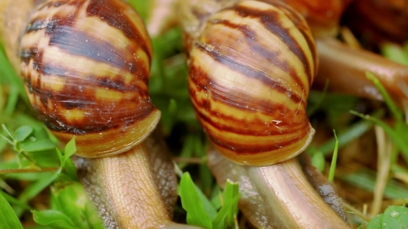 Many Crawling Loving And Eating Snails