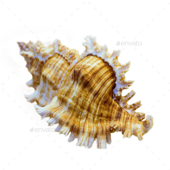 Shell of Murex Saulii or Chicoreus Saulii - Stock Photo - Images