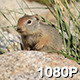 Baby Ground Squirrel - VideoHive Item for Sale