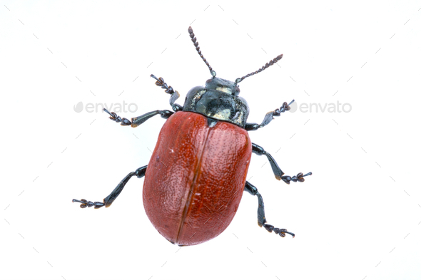 Red beetle on white background from family Chrysomelidae - Stock Photo - Images