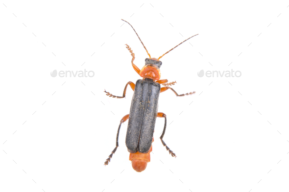Soldier beetle on a white background - Stock Photo - Images